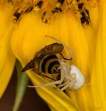Misumena Crab Spider