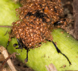 Sexton beetle with hitch-hiking mites
