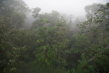 Cecropia trees on a misty morning