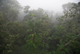 Cecropia trees on a misty morning (50%)