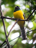 Violaceous Trogon digiscoped by Carlos