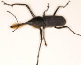 Bottlebrush Weevil (Rhinostomus barbirostris)