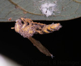 Little wasp infected with Cordyceps