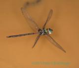 Gynacantha membranalis (Dark-saddled Darner)