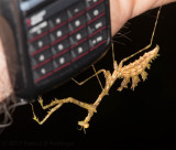 Mossy Praying Mantis (Pogonogaster tristani)