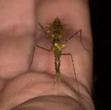 Pogonogaster tristani head shot