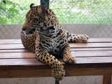 Fiona orphan jaguar
