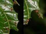 Atta ants cutting leaves