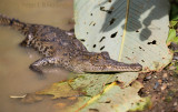 Young crocodile in a mud puddle