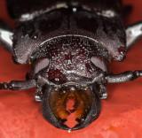 Beetle Face crop