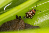 beetle with frass