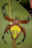 Eriophora nephiloides Orbeaver