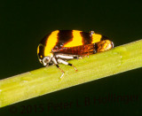 Gold and Black Hopper