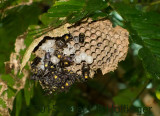 Wasp nest exposed