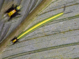 Striped Caterpillar with inset