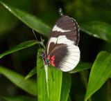 longwing butterfly