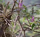 purple-flowered tillandsia on acacia