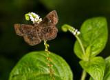 brown butterfly on boraginaceae