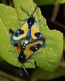 Mating Moths