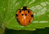 Dewy Orange Beetle