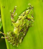 Tree Frog in Bromeliad