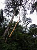 Long aerial root