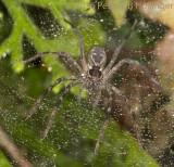 Funnel-web spider