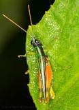 Colorful grasshopper