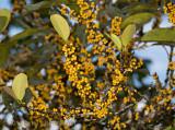Fruitful Ficus