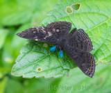 blue antennae
