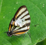 hairstreak butterfly with fake antennae