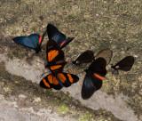 butterflies at lick