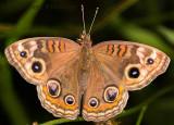 Brushfoot Butterfly - Dorsal