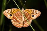 Brushfoot Butterfly - Ventral