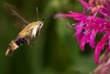 Snowberry Clearwing Moth (Hemaris diffinis) at Monarda 50 .jpg