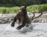 Alaskan Brown Bears and Salmon-a McDonald Photo Safari-2013