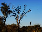 Vultures await