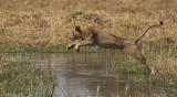 Lioness jumps