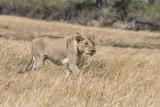 Lioness stalks