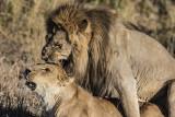 Lion Pairing