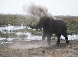 Elephant dusts himself