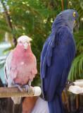 Maui parrots