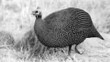 Guinea Fowl Perlhuhn