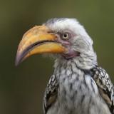 HornschnabelYellow Hornbill