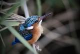 Malachite KingfisherEisvogel