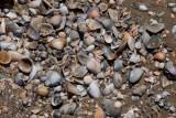 En las Playas de Siete Altares se Encuentran Muchas Conchas