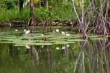 Lirios en las Orillas Pantanosas del Rio Lamparas