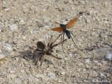Tarantula / Pepsis Wasp (Tarantula Hawk) Battle