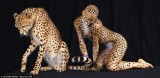 Cheetah Girl 02