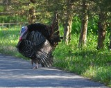 Doing the Turkey Trot